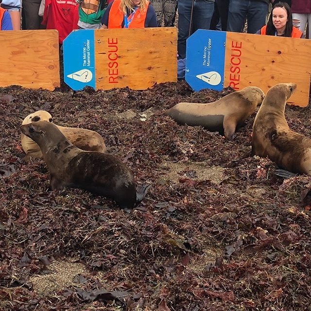 Highlight of the weekend! Watching these rehabilitated seals released back into the ocean thanks to the hard work of the volunteers from @themarinemammalcenter. They're saving the creatures in our ocean and we should all help them! #savetheocean #anditscreatures
