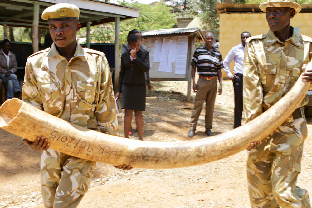 KWS rangers carrying tusks to the courthouse