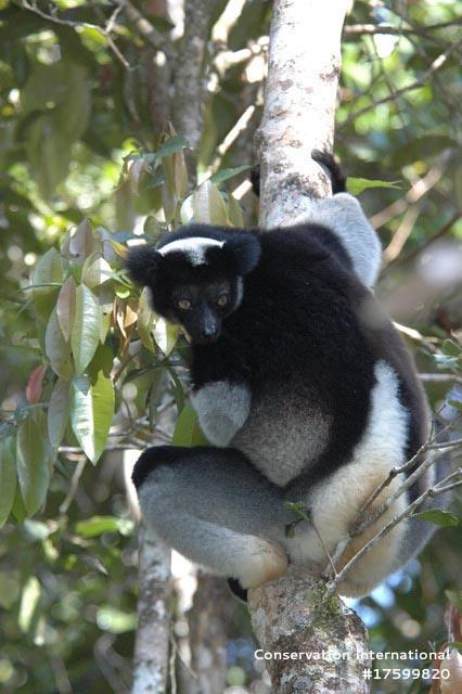 Indri.jpg