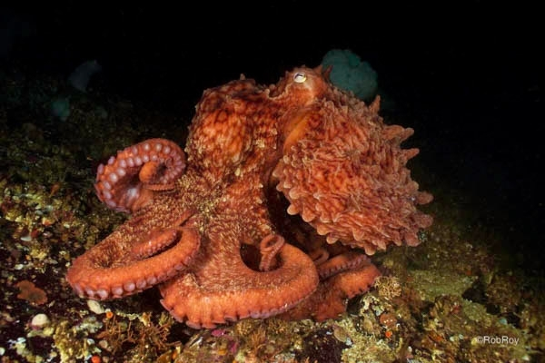 Ruby Octopus, Kelvin Grove, BC