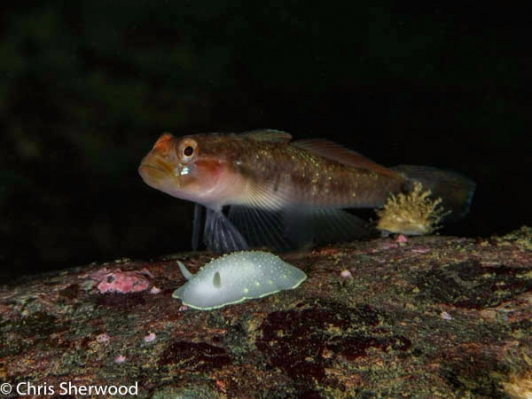 Goby and Nudibranch, Howe Sound, BC
