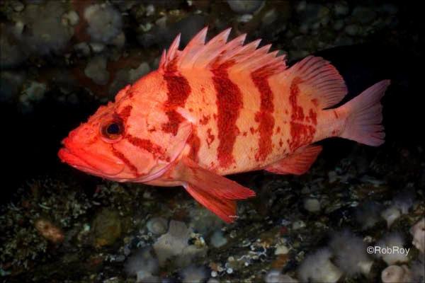 Tiger Rockfish, Gods Pocket, BC