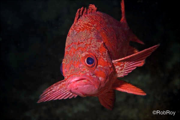 Vermillion Rockfish, Gods Pocket, BC