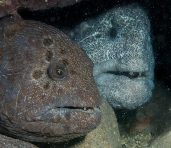 Pair of wolf eels