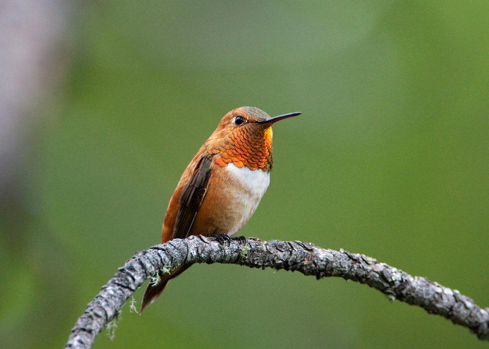 rufous-hummingbird8.jpg