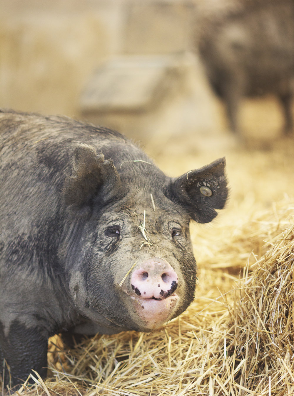 R Family Farms, Berkshire Hogs, Heritage Breed