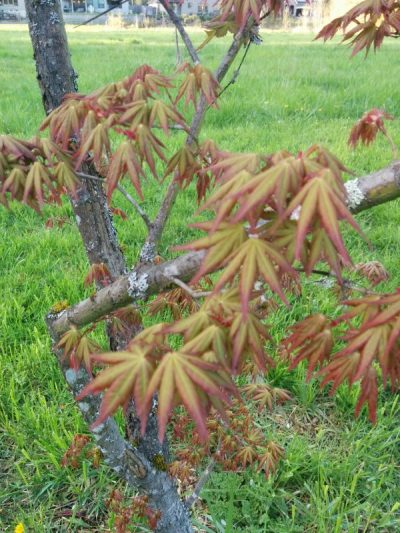 Japanese Split Leaf Maple