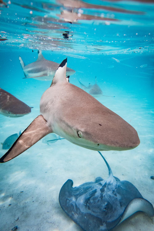 Sharks and Ray