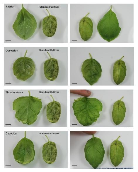 Standard Cultivar.jpg