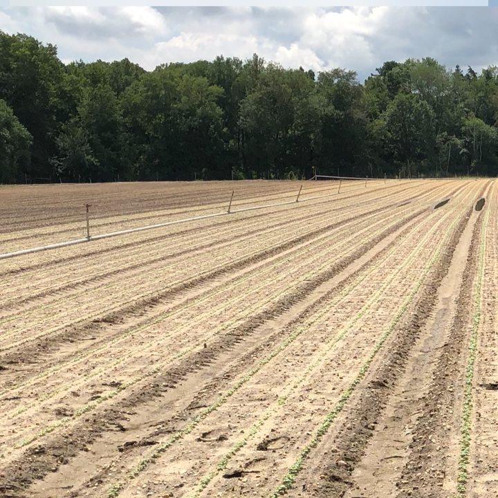 "dalponte farms -  (nEW JERSEY, usa)   ""I've been through some of the trials, and the Devotion was like a soldier standing up, waiting for the enemy, when the others were dying (from downy mildew). It looks like Devotion fills our needs. It's the real deal."""