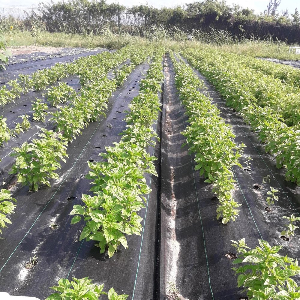 "field to fork community farm ltd   (Nassua, the bahamas)  ""We are so happy to be able to produce basil again here in The Bahamas thanks to the Obsession variety. We had given up growing basil here during the months of November - April due to devastating Downy Mildew infections. We tried various varieties and inevitably they would succumb to Downy Mildew and wipe out our crop. We have had great success so far this season with Obsession, even when other varieties sustained major infection in the adjacent rows. """