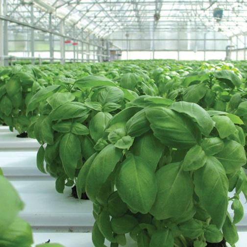 Basil-Planting-feature.jpg