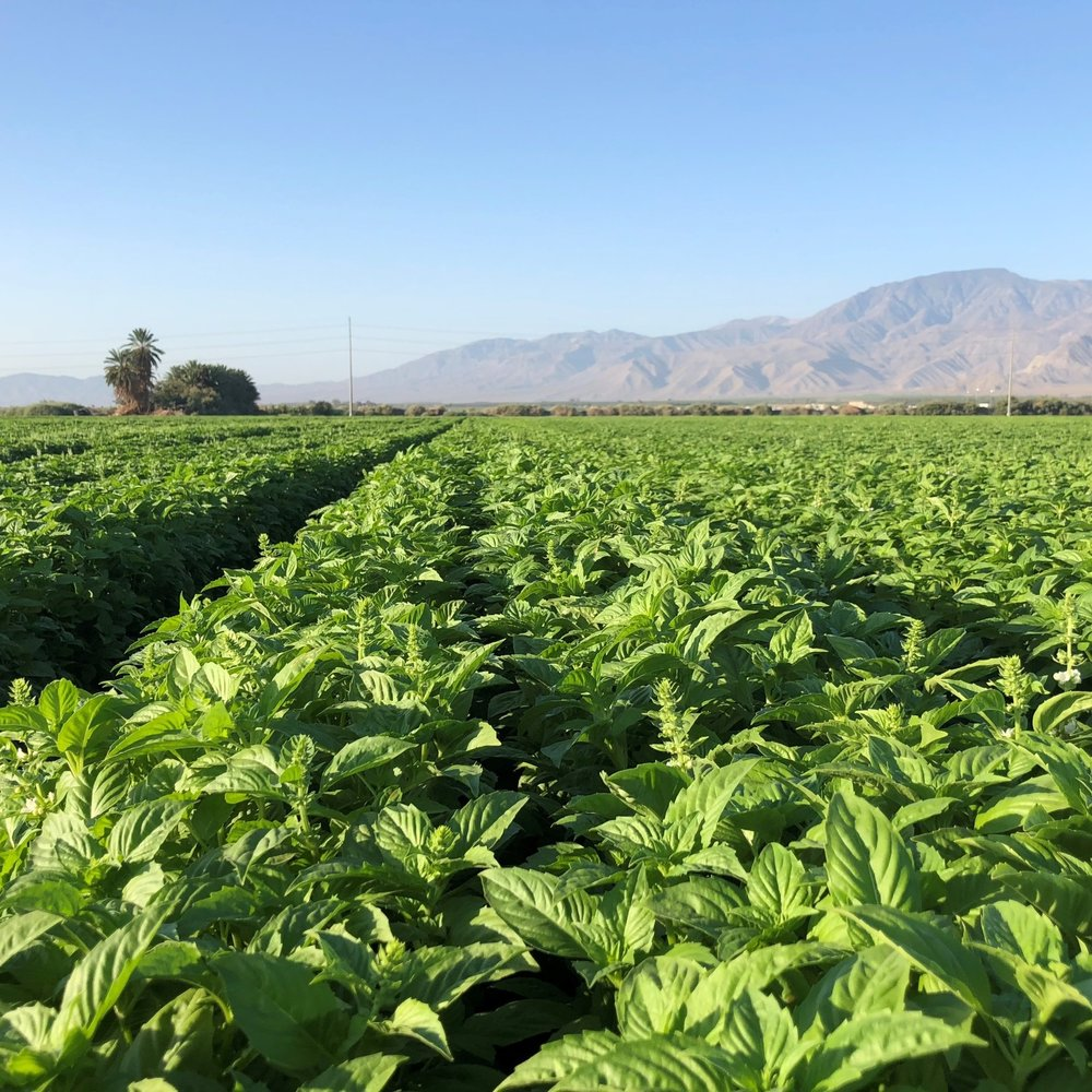 """gOLDEN STATE HERBS    (CALIFORNIA, uSA)  """" wE HAVE BEEN IMPRESSED WITH BOTH THE downy mildew DISEASE RESISTANCE AND YIELD. we had a great basil season - many thanks to the vdfss varieties"""""""