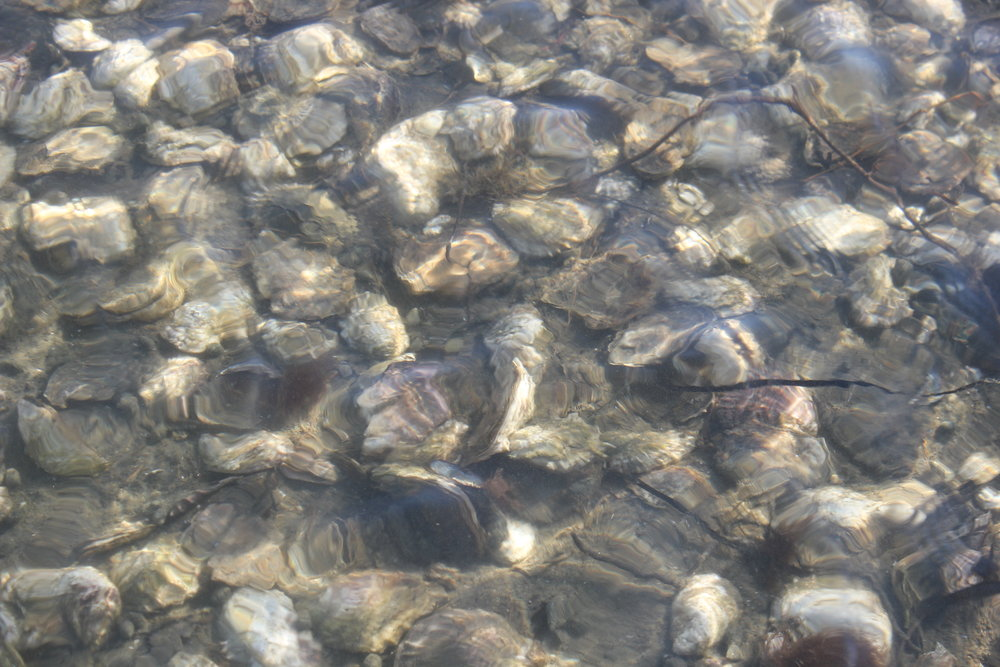 Record 11_15 oyster field water shot.JPG