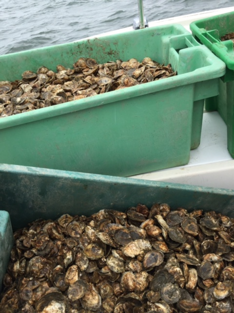 Bins of oysters to be planted.JPG