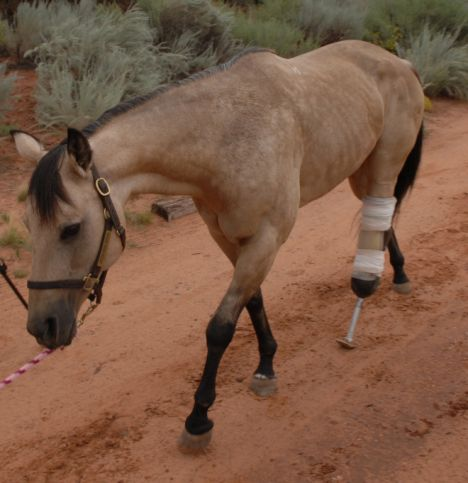 Riley, a horse with a prosthetic leg