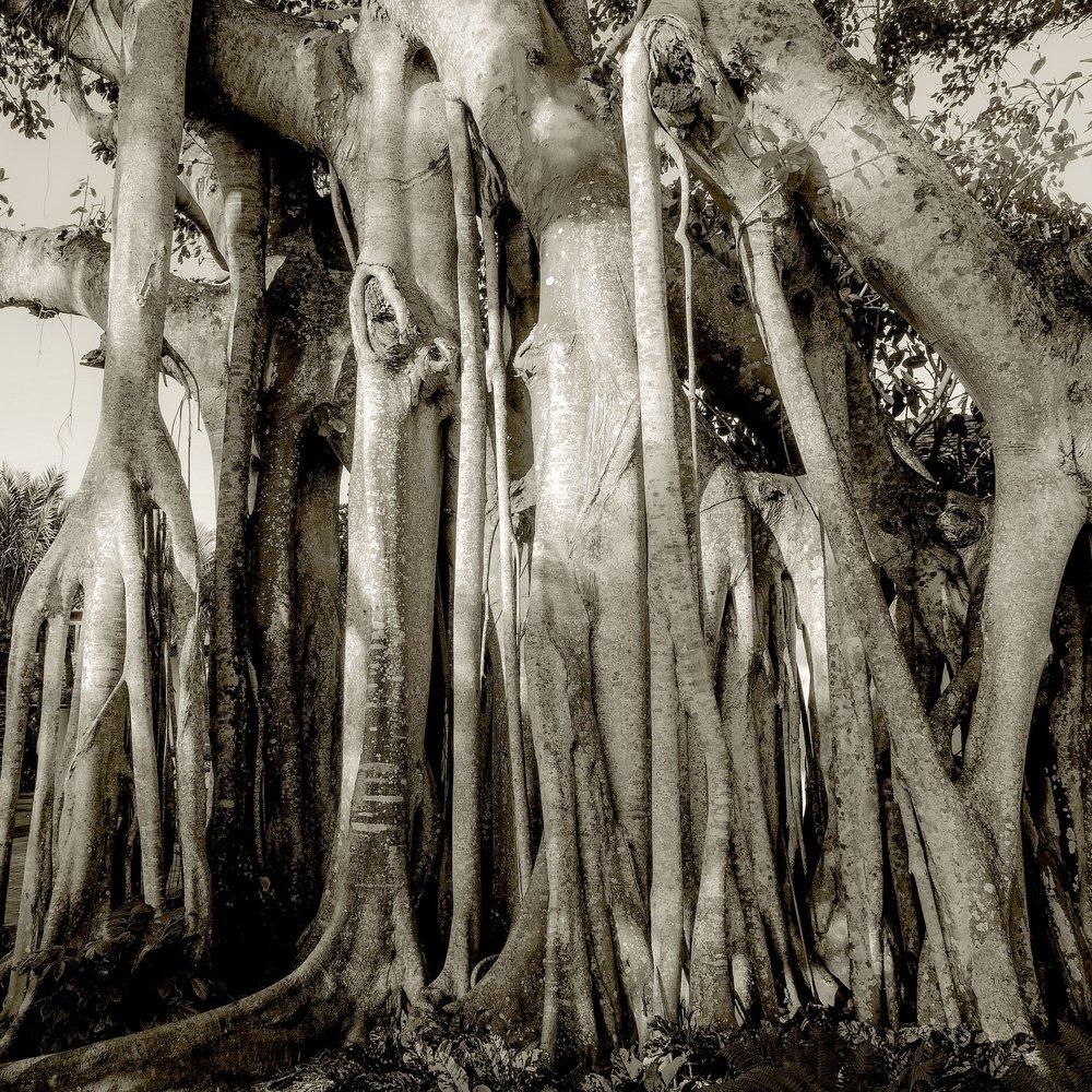 Banyan Tree, Boca Grande, FL