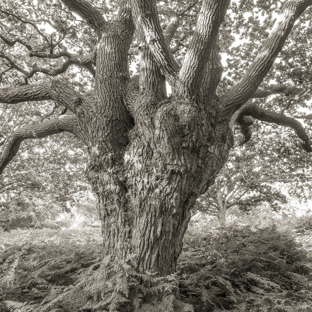 Oak, Richmond, UK