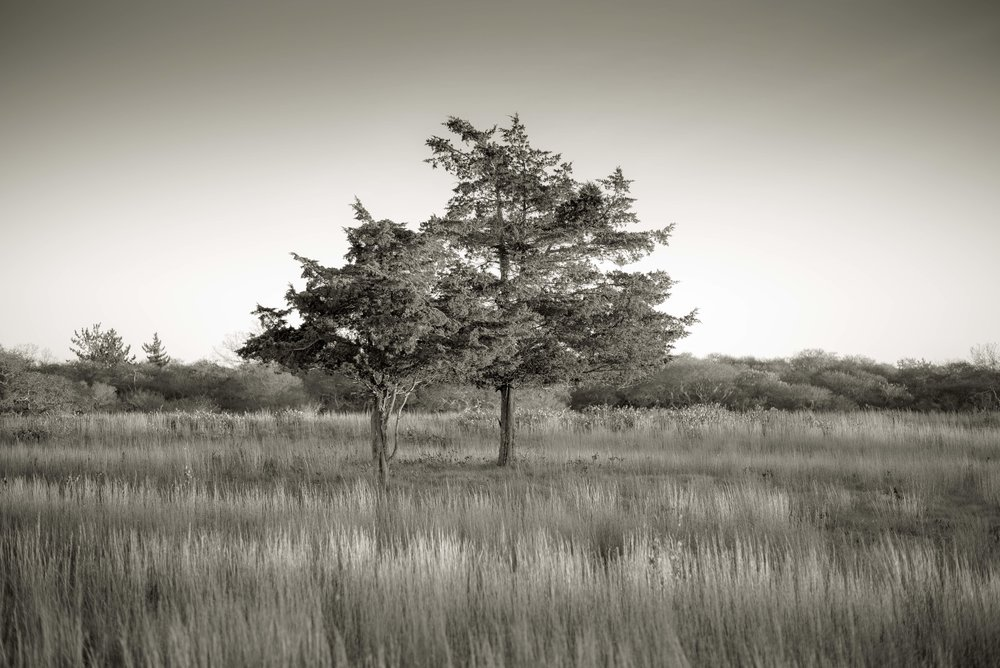 Cypress, Nantucket, MA