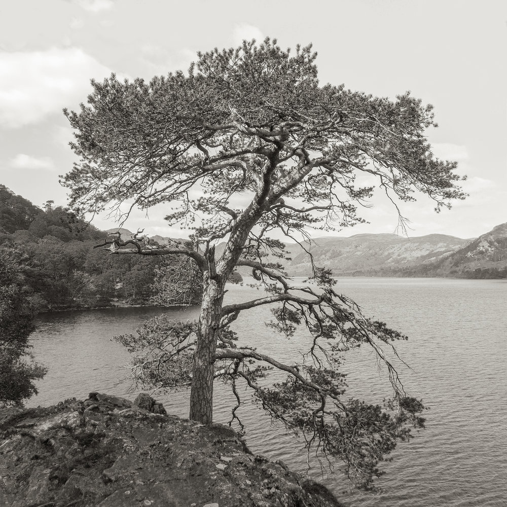Cypress, Lake District, UK