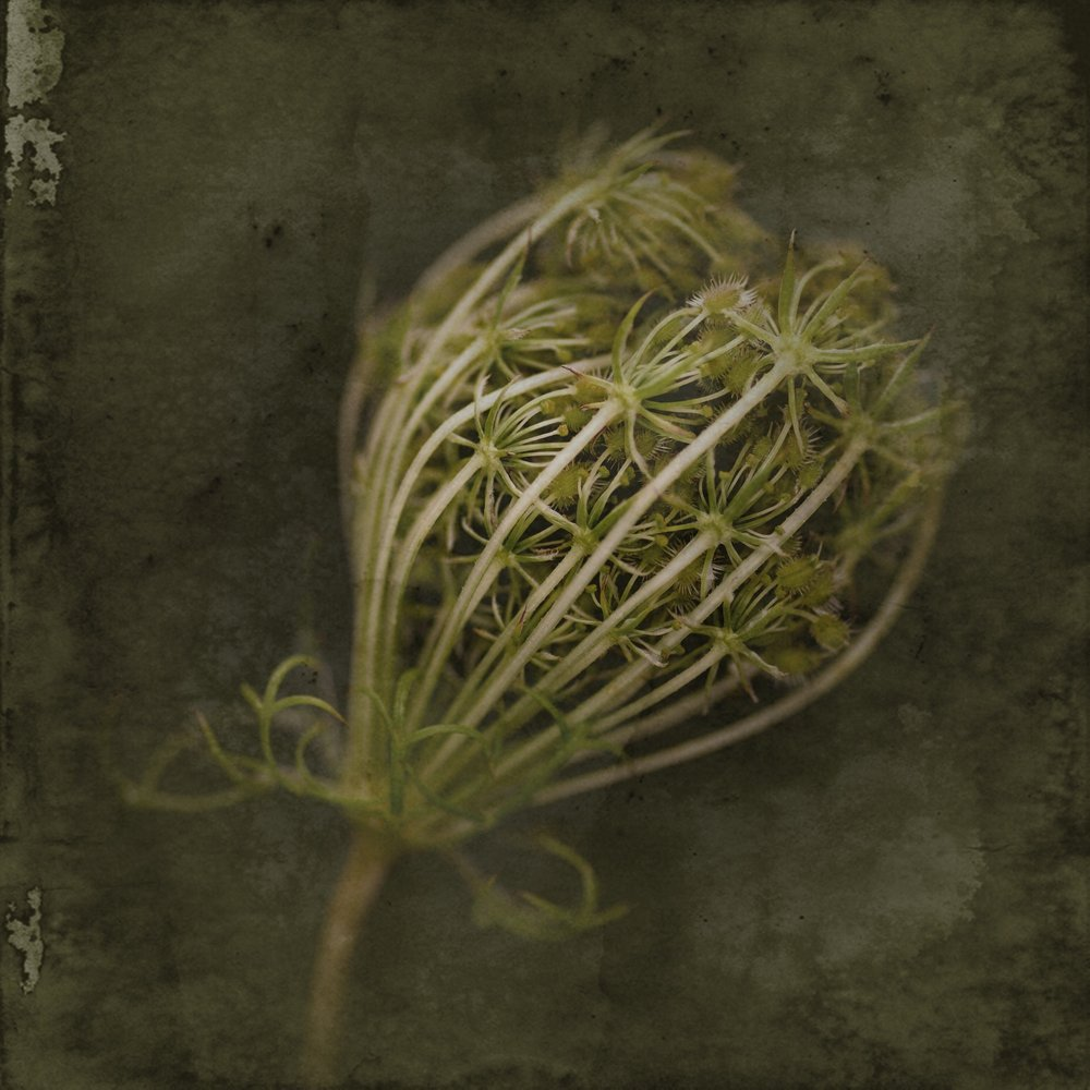 Queen Anne's Lace I