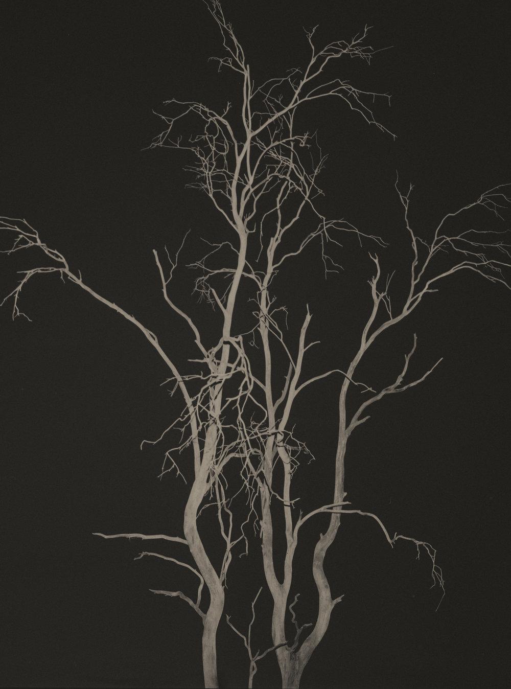 pialigoredwood003.jpg