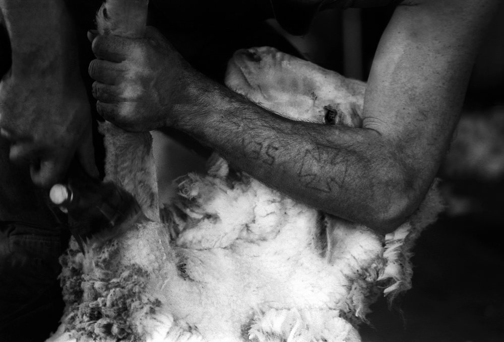 A merino sheep being relieved of its heavy fleece by a deft shearer. Outback NSW, Australia. 1995