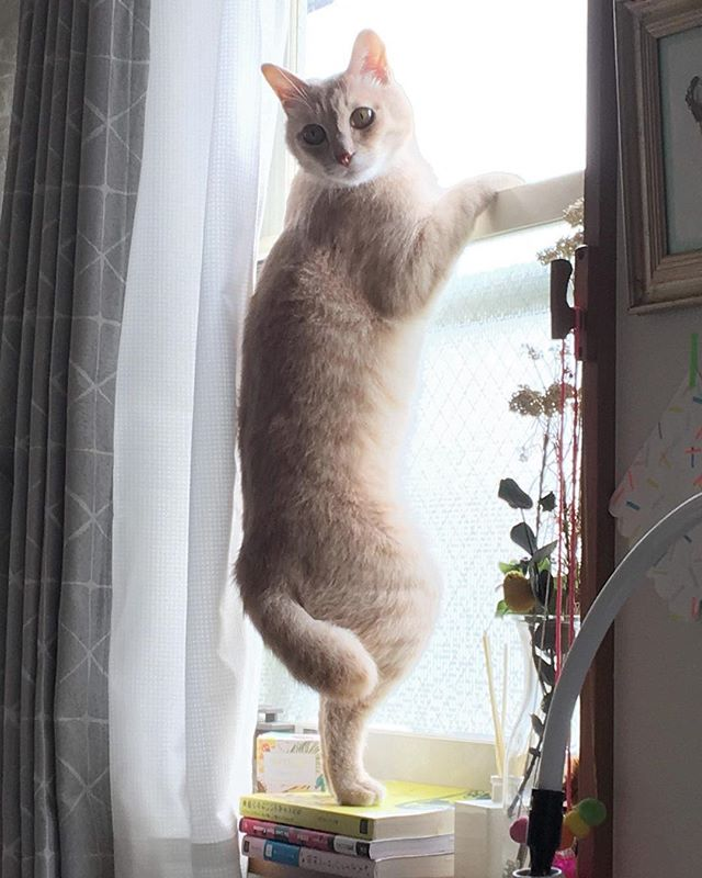 金曜日の背伸び? 本日はサプライヤーとの打ち合わせに行ってきますので、事務所のことは白玉部長に任せしましました! All ready for the weekend! . . . . #catchjapan #キャッチ #猫生活 #猫がいる生活 #ねこと暮らす家 #猫と暮らす #インテリア #猫インテリア #interiorstyling #lifestyle #リビング #猫暮らし #空き家再生 #リフォーム #空間デザイン #お家 #部屋作り #roomsforinspo #neko #猫 #猫生活 #猫の日 #猫ちゃん