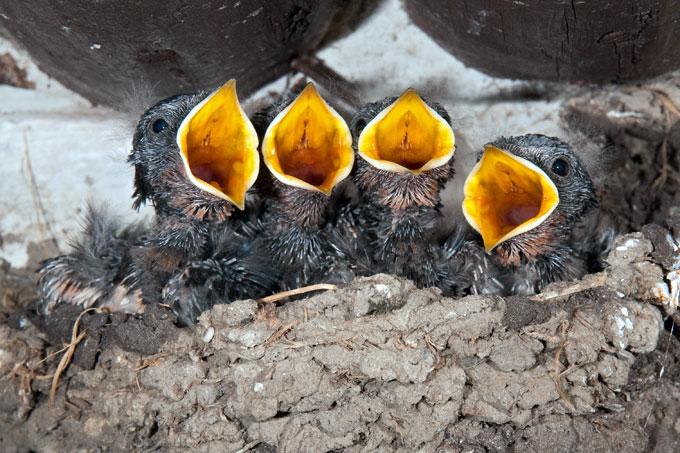 2011-rauchschwalben-kueken-im-nest-frank-leo-fokus-natur-680x453.jpeg