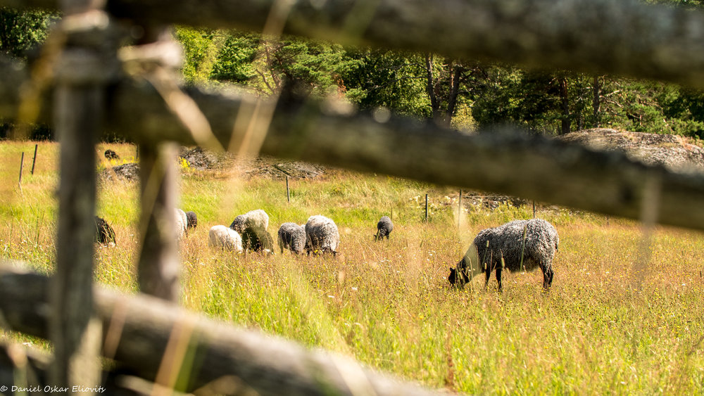 Sheep in Tyresta national park, Sweden