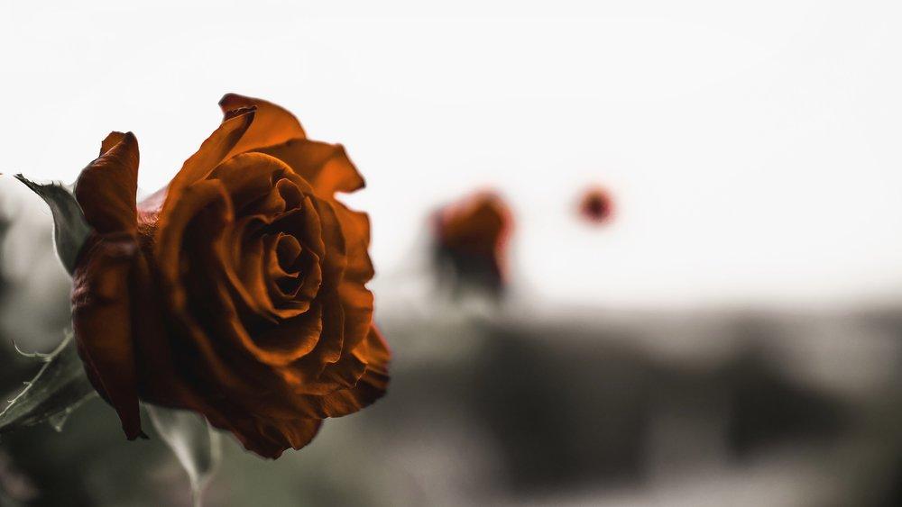 Rose away