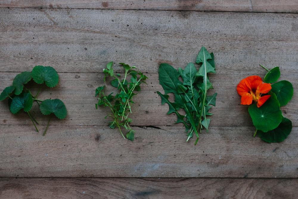 Pennywort - Chickweed - Dandelion - Nasturtium