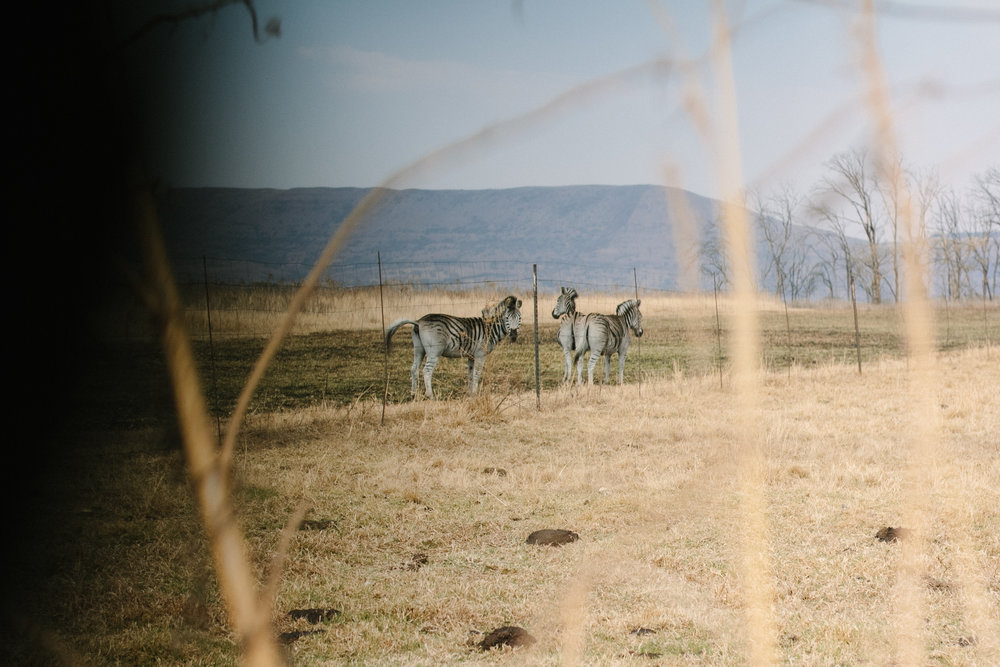 Zebra's on the road to Antbear // An Inspiring Stay at Antbear Eco Lodge // Drakensberg, South Africa
