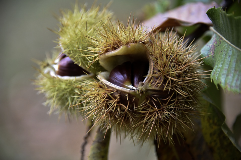 What to Forage in November | Sweet Chestnuts