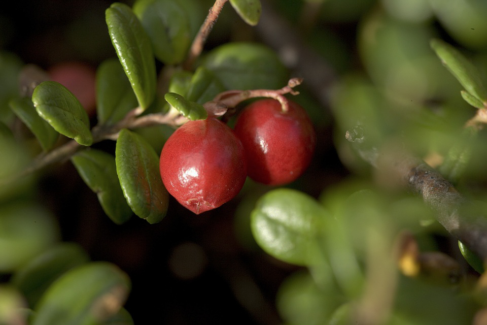 What to forage in November | Cowberries