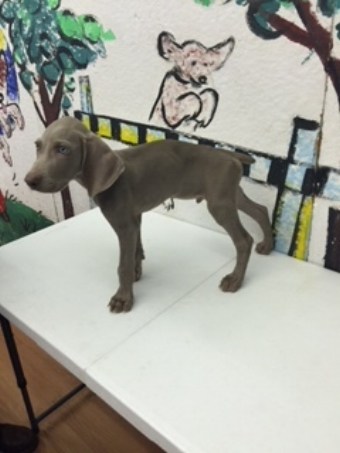 Breck, a three month old  Weimaraner learning to stand for examination.