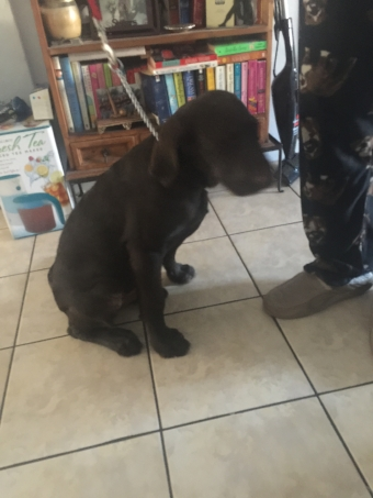 Sam, a four month old Chocolate Labrador  Retriever being trained in his Alhambra home.
