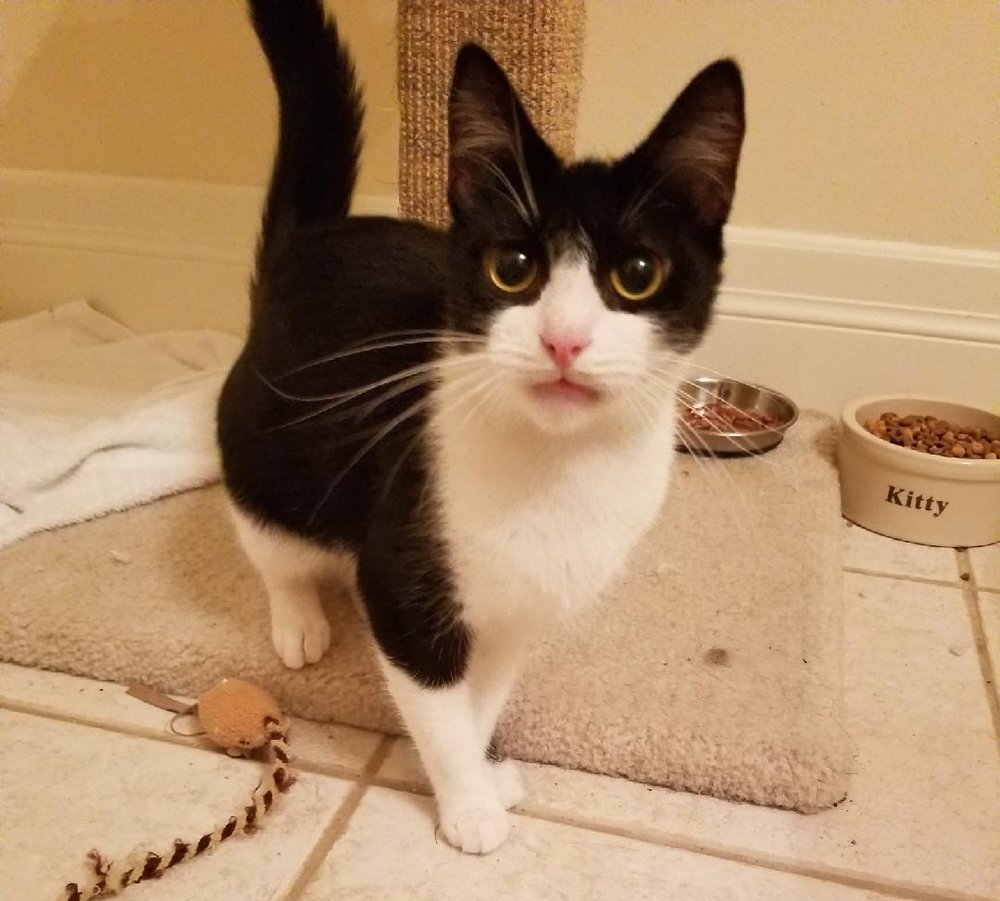 Black and white kitten LouAnne.jpeg