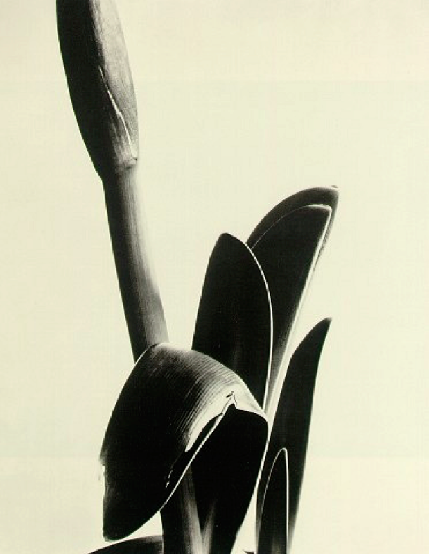 Amaryllis (1933) by Imogen Cunningham