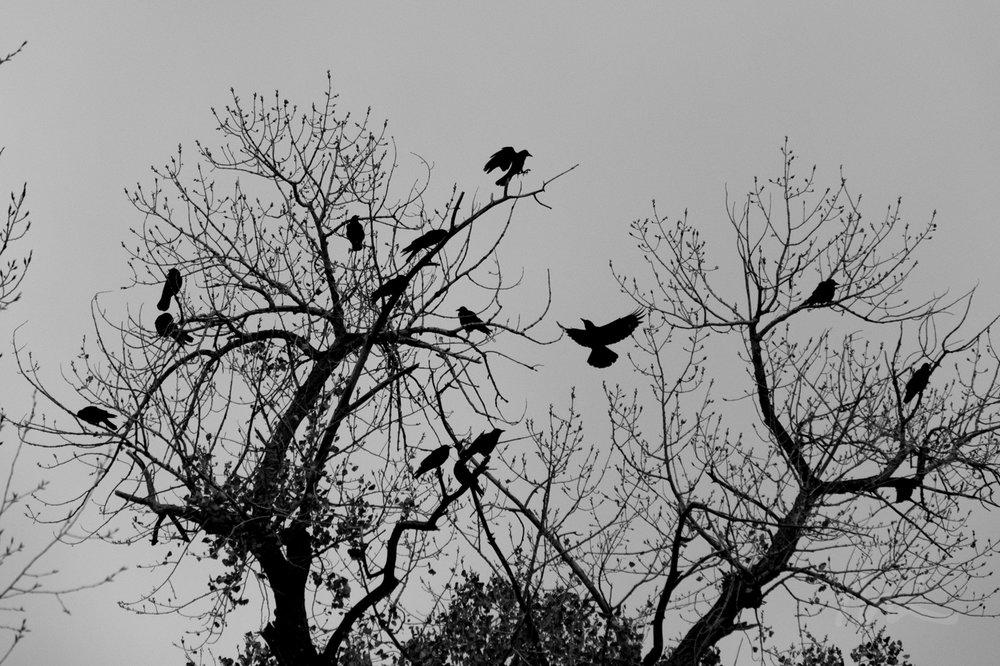 Crows, Santa Fe (2018)