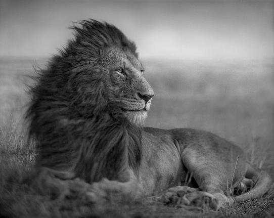 Nick Brandt, Lion in shaft of light, Maasai Mara (2012)