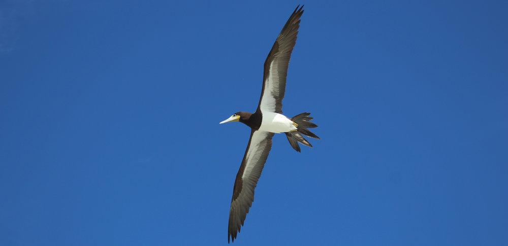 Jost Van Dyke, BVI, Brown Boobie in flight.