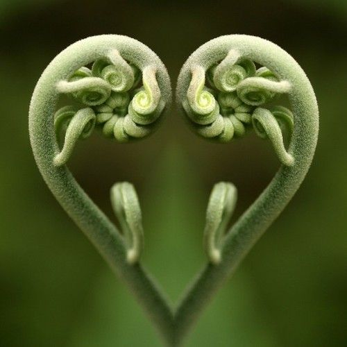 ferns-unfolding.jpg