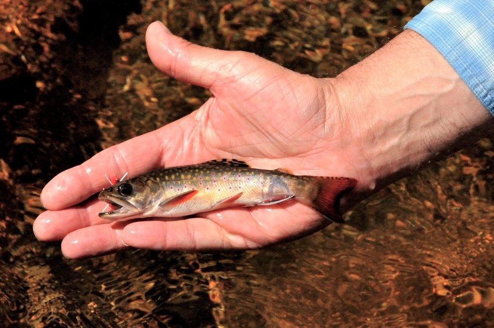 Sea-run brook trout