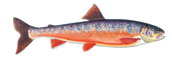 Blueback-Trout.jpg