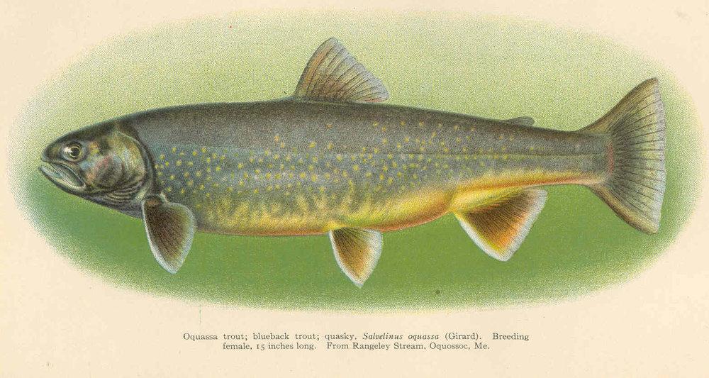 FMIB_38996_Oquassa_trout;_blueback_trout;_quasky_Salvelinus_oquassa_(Gerard)_Breeding_female_15_inches_long_From_Rangely_Stream,_Oquossoc.jpeg