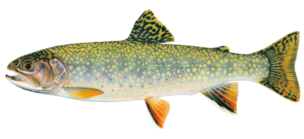 Stream Brook Trout (Clear Background).png