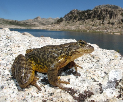 Mountain-Yellow-Legged-Frog.jpg