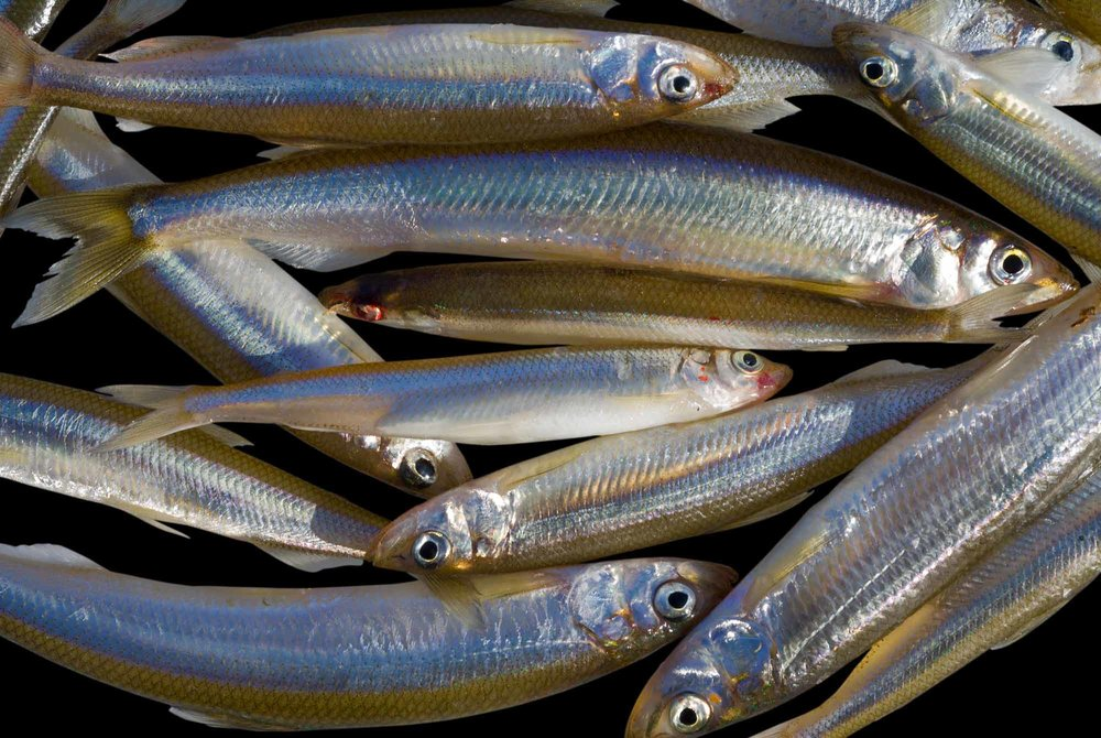 Rainbow Smelts