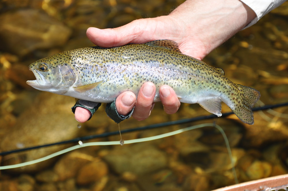 A stocked nonnative rainbow trout from the Ammonoosuc River. (Diana Mallard)